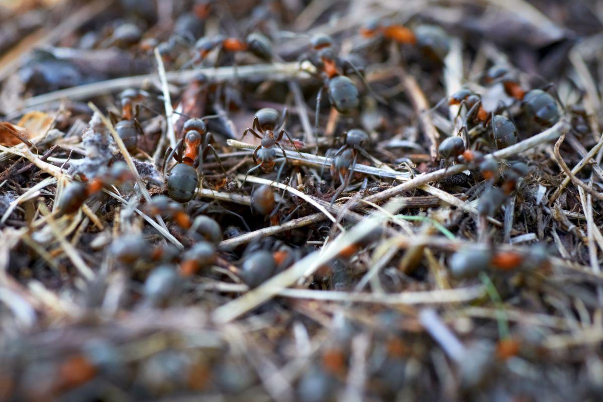 Colonie de fourmis rouge