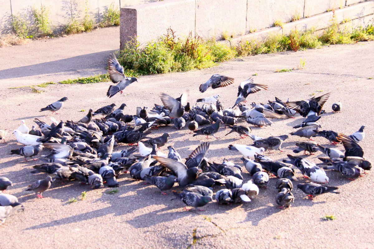 Groupe de pigeons